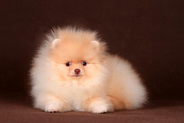 фото собак шпиц